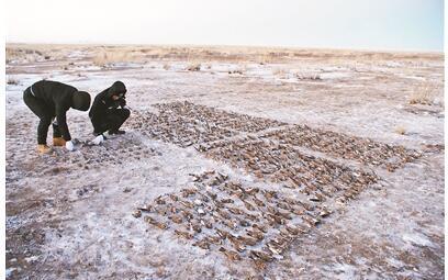 百灵鸟遭毒杀案告破  870只百灵鸟被毒死3名犯罪嫌疑人被抓