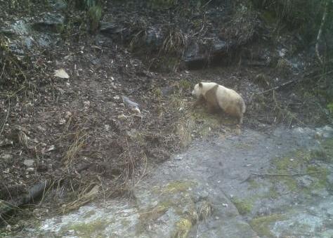 萌翻路人!陕西现棕色大熊猫罕见至极