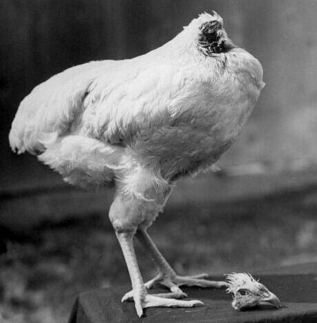"""泰国一无头鸡存活一周被赞""""真正的勇士"""" 很温驯且身体反应良好"""