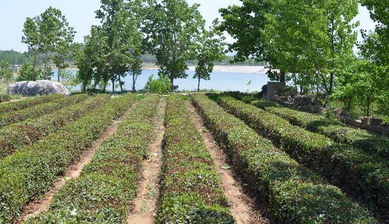 采茗原产地  只做品质茶