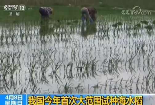 我国今年首次大范围试种海水稻 数亿亩盐碱地有望成粮仓