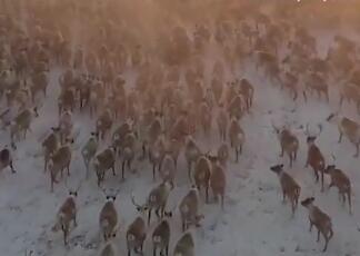 3000驯鹿冰天雪地大迁徙!