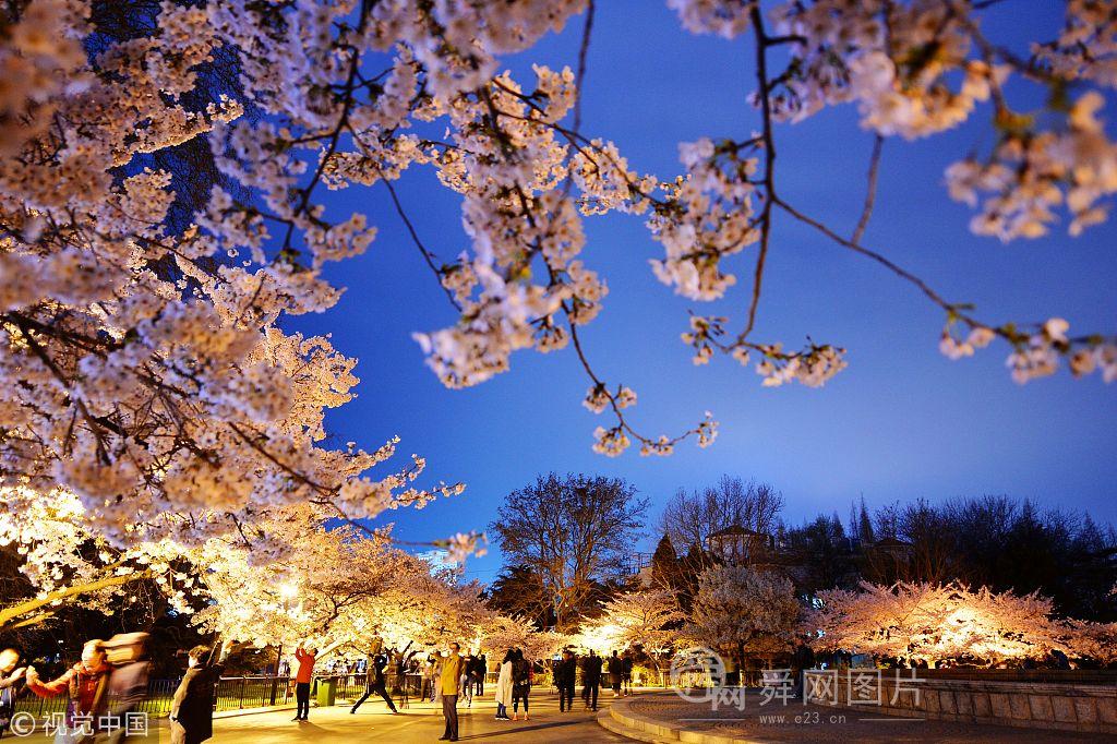 山东青岛:夜色樱花美轮美奂 吸引游客驻足拍照