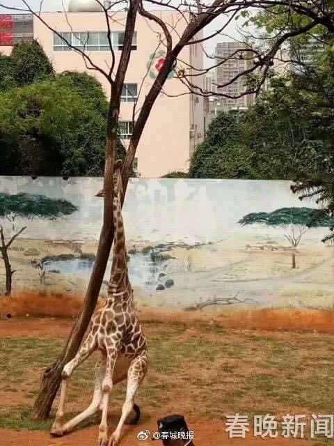 """长颈鹿海荣身亡 贪玩在树上""""蹭痒""""被卡住头"""