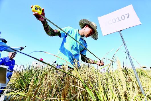 """青岛""""海水稻""""今年将全国大范围试种"""