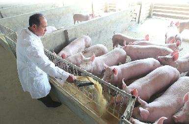 """每卖出一头猪赔200元 济南养殖户""""割肉""""卖猪"""