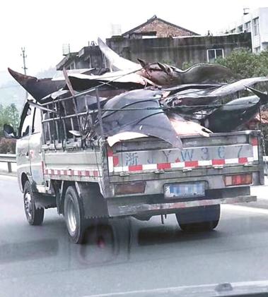 """货车疑似非法运输""""魔鬼鱼""""被查 初步鉴定载有22条蝠鲼1条青鲨"""