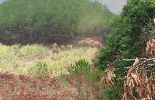 西双版纳野象攻击 一63岁男子被亚洲象踩死现场发现手机