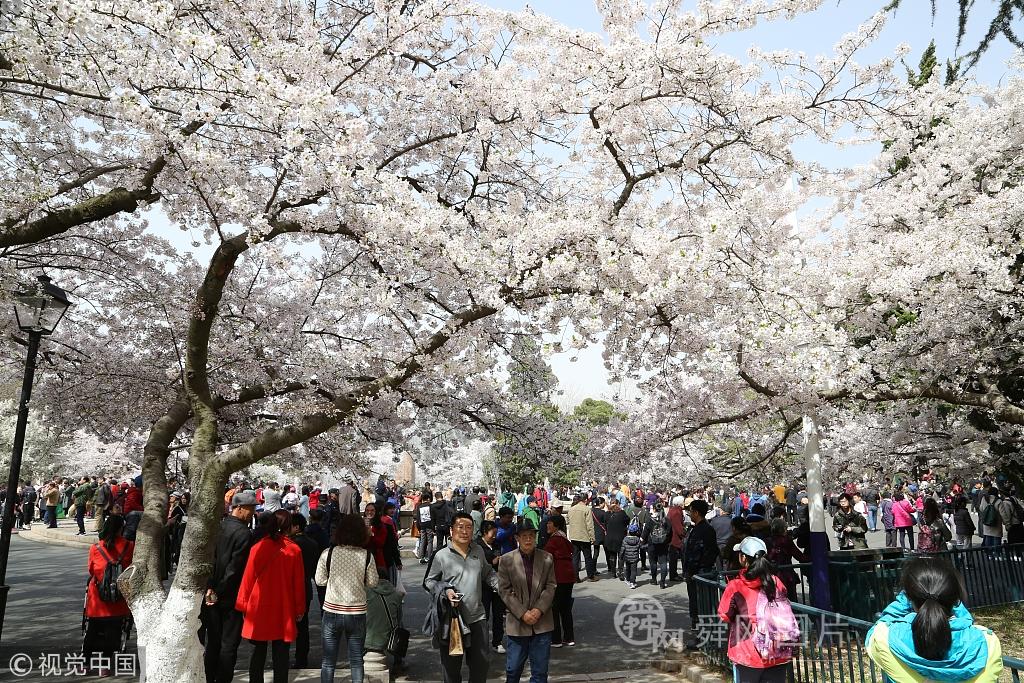 青岛:樱花进入盛花期 中山公园引来游客满园