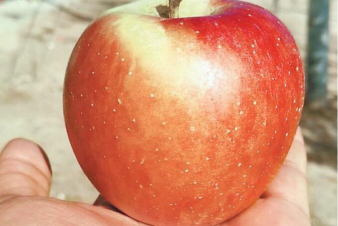 女子携带免费苹果被罚 一颗苹果引来500美元罚款