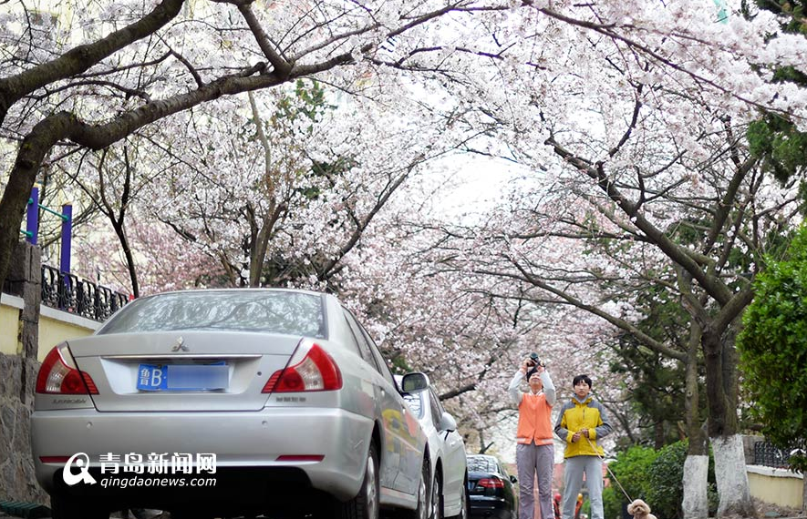 青岛最美樱花小路樱花绽放 繁花遮天蔽日