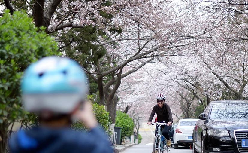 """进入4月青岛迎来樱花季,落樱缤纷的美景又要再现眼前,而青岛""""最美樱花小路""""三明南路率先迎来了樱花绽放的时节。"""