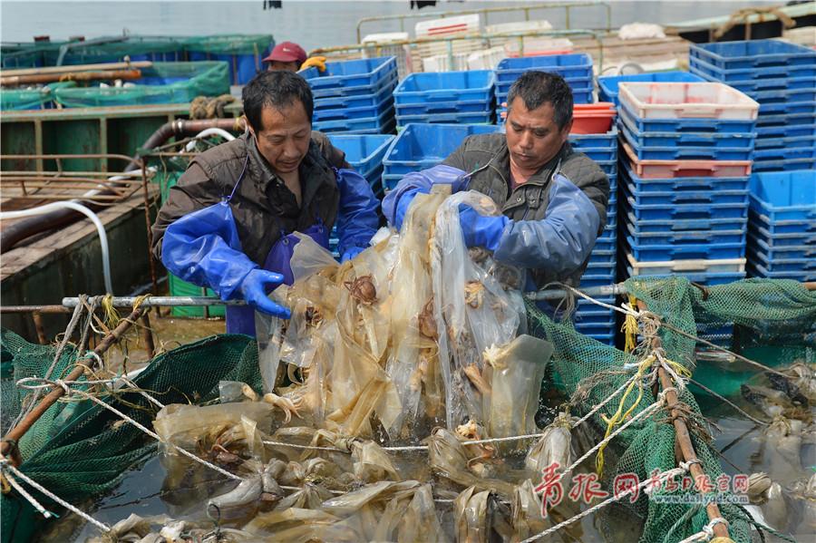 青岛渔港进入八带捕捞旺季 每天捕捞数万斤