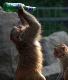 猴子也会喝啤酒