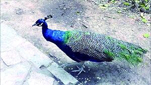 别动手!孔雀遭游客拔毛 动物园已经将受伤的孔雀单独隔离养护