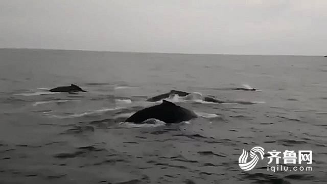 """山东蓬莱长岛海域出现鲸鱼群 重现古时""""龙兵过境""""奇景"""