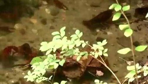 德国小龙虾泛滥令人束手无策 小龙虾喜欢清洁水源 并非青睐臭水沟
