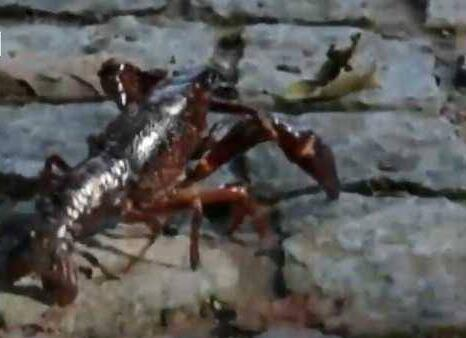 吃货疯了!德国小龙虾泛滥 夜宵界