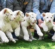 雪虎五胞胎与游客见面