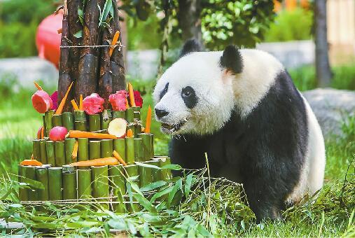 """济南:大熊猫""""雅吉""""迎4岁生日 畅享60多斤的""""竹蛋糕"""""""