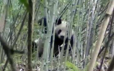 """憨态可掬!大熊猫下山偷笋 数次""""作案""""终露真容被逮个正着"""