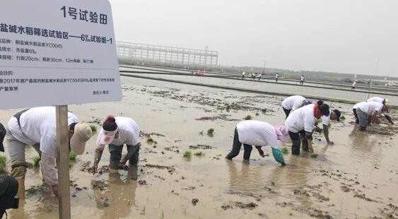 耐盐碱海水稻全球推广 袁隆平亮相青岛亲手选秧苗