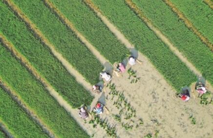 中国智慧显神威!沙漠种植水稻成功 袁隆平迪拜沙漠里种水稻!
