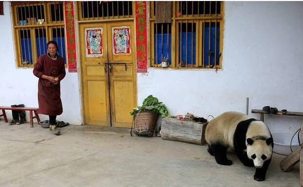 可爱爆了!野生大熊猫现汶川 悠闲地跑到村民家中玩耍