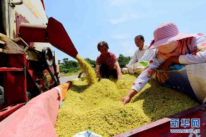 山东多地小麦陆续进入收获期 田间麦香四溢遍地金黄