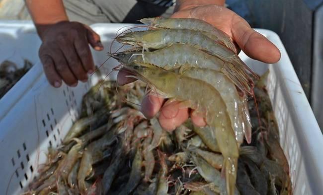 """男子被虾刺中险被截肢 为什么""""海分枝杆菌""""会造成这么大的伤害?"""