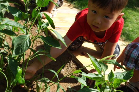 蔬菜宝宝长大啦——历下区林景幼儿园蔬菜采摘活动