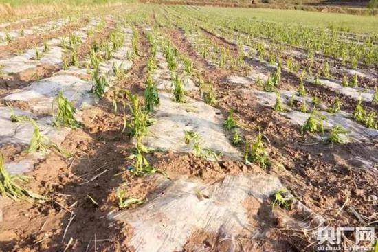 50个村7746户受灾!宁夏西吉大风冰雹 部分农作物绝产