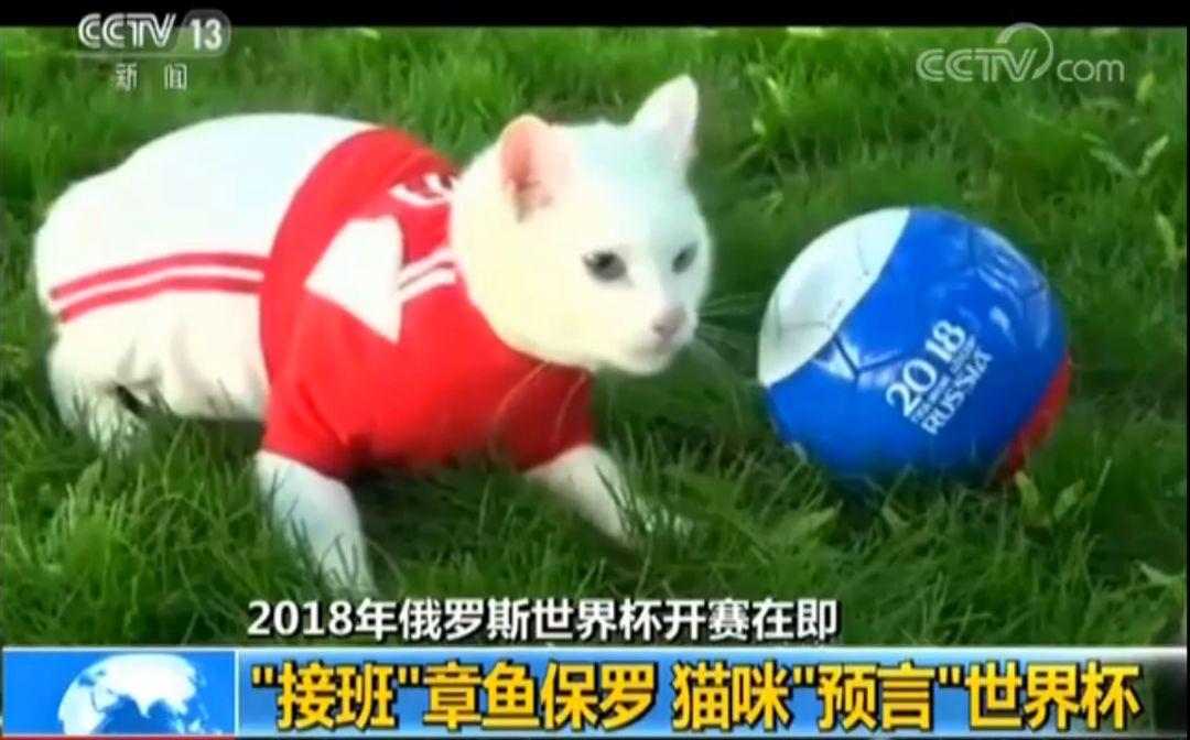 """章鱼保罗有接班人了?猫咪预言世界杯 2岁半""""警卫猫""""后代化身神算子"""