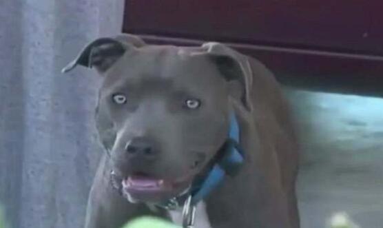 美国加州:大斗牛犬救出女婴 汪星人火场救人感动铲屎官