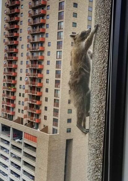 暴走吧萌物!小浣熊爬摩天大楼 爬17楼去掏鸽子窝
