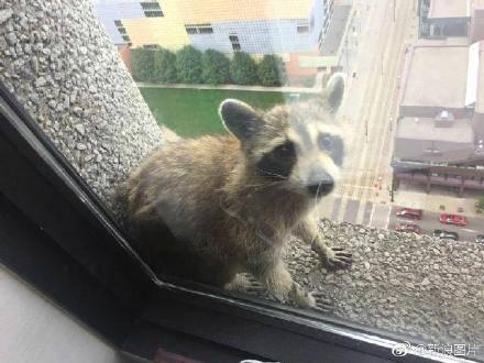 难道是开挂?小浣熊爬摩天大楼 《银护》导演愿意捐1000美元给它