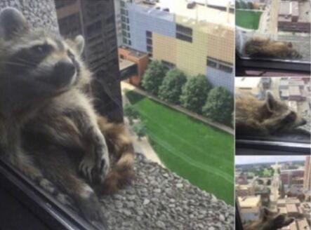 蜘蛛侠血统!小浣熊爬摩天大楼 凭
