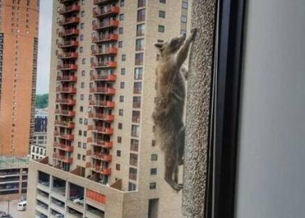 美国网红诞生记!小浣熊爬摩天大楼 不屈不挠爬20层楼终于重获新生
