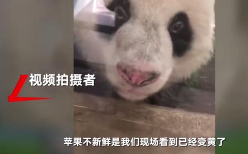 武汉大熊猫遭虐待 今日从武汉动物园出发飞回成都老家