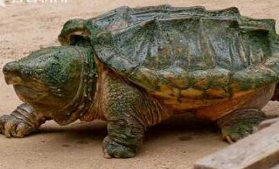 鳄龟胃现人类手指 美国一男子剖开鳄龟准备大快朵颐却见手指