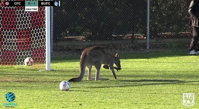 """袋鼠也疯狂!闯进女足赛场当起""""守门员"""" 这次看谁敢进球"""