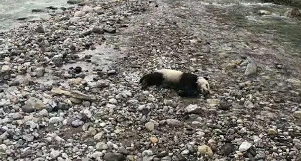 可怜!成都一只半岁野生大熊猫溺亡 因山洪暴发不慎落水