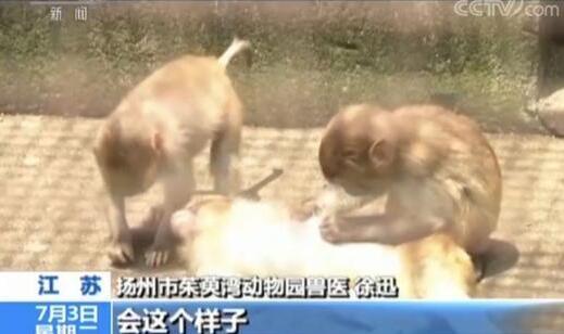 网友直播养猴牵出大案 小猕猴黑色交易一只卖到一万一千元