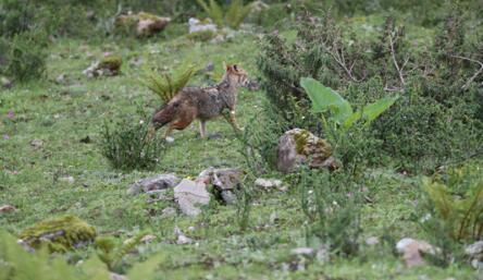 喜马拉雅山脉首次发现亚洲胡狼 正脸面对拍摄超配合