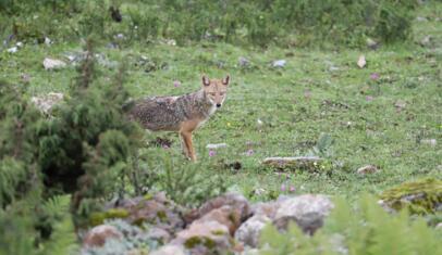 中国首次发现亚洲胡狼 喜马拉雅山区域或有更多人类未知物种