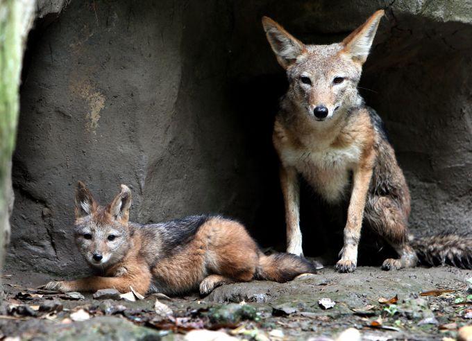 像狼又像豺!首次发现亚洲胡狼 速度太快没能拍到更多视频
