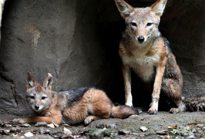 西藏首次发现亚洲胡狼 下颌到腹部的白色皮毛类似豺
