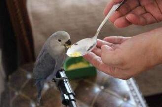 """萌新闻!鹦鹉飞进俄一监狱混成""""团宠""""被宠上天 喝水吃食需喂喂"""