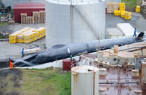 遍地血肉!冰岛疑似捕杀蓝鲸 肢解切碎后销往日本