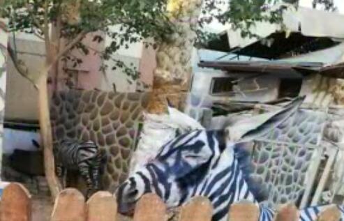 埃及动物园画驴成斑马 还有动物园用一只藏獒冒充狮子